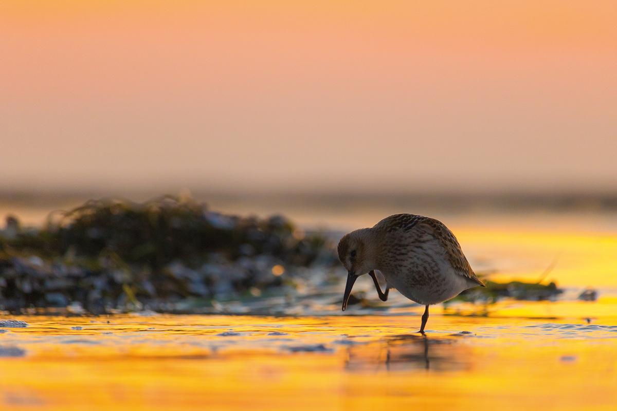 Foto: Strandläufer am Meer